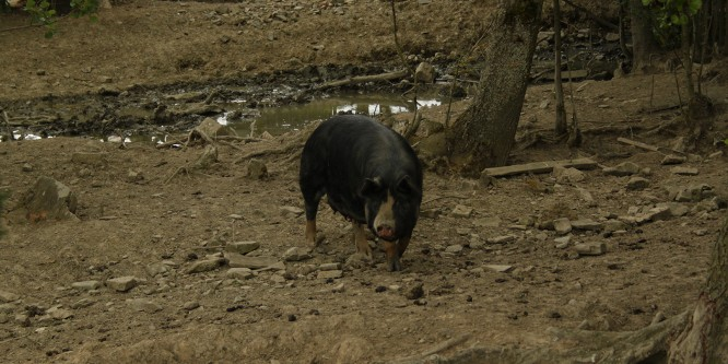 Patrick Farmer – Field Recording Archive #7. Berkshire Pig